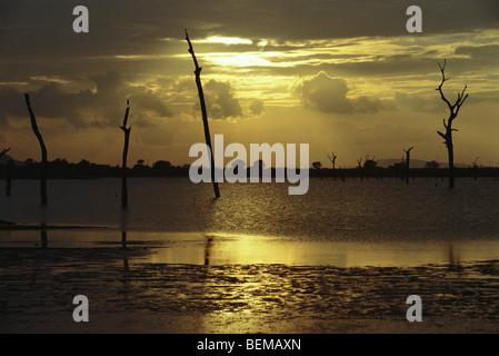 Dead trees standing in lake, silhouetted against golden sky, Sri Lanka - Stock Photo