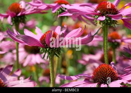 Echinacea purpurea RUBY GIANT - Stock Photo
