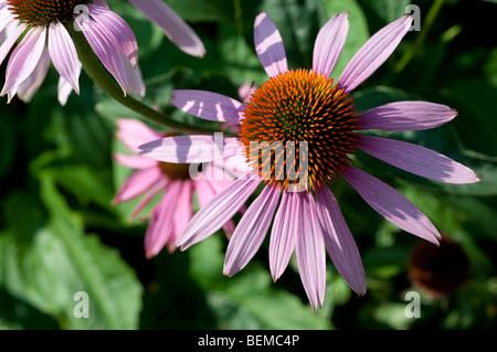 Echinacea purpurea MAGNUS Magnus Purple Coneflower - Stock Photo