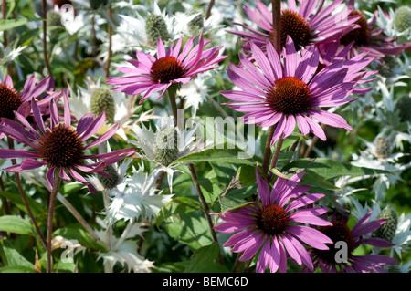 Echinacea purpurea RUBINGLOW and Eryngium giganteum SILVER GHOST - Stock Photo
