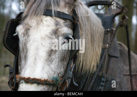 Close up of draught horse (Equus caballus) with harness, Belgium - Stock Photo