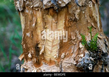 Gnawing teeth marks on tree from beaver (Castor canadensis), Grand Tetons National Park, North America, US - Stock Photo