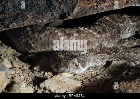 Western diamondback rattlesnake (Crotalus atrox) lying curled up in ambush under rock in the Arizona desert, US - Stock Photo