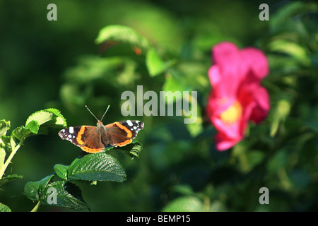 Red Admiral Butterfly sitting on a Dog Rose bush, Rügen Island, Germany - Stock Photo