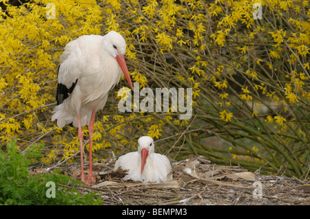 White Stork Ciconia ciconia Pair nesting Photographed in Spain - Stock Photo