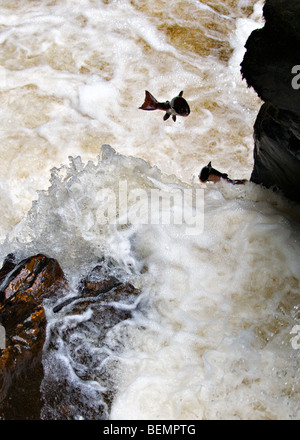Wild Salmon leaping up the Black Linn waterfall, River Braan at the Hermitage, dunkeld, Perthshire in Scotland in - Stock Photo