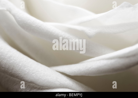 Soft focus close up of single white rosebud petals - Stock Photo