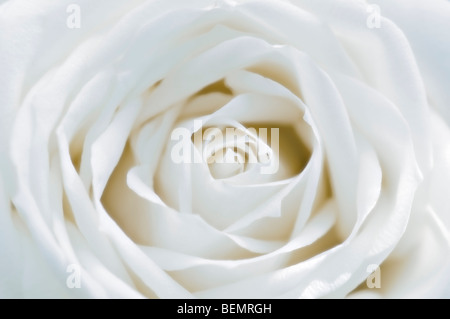 Soft focus close up of single white rosebud - Stock Photo