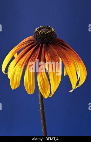 Rudbeckia [Gloriosa Daisy] cone flower on blue background - Stock Photo