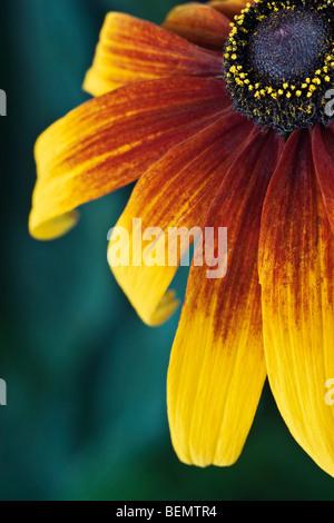 Rudbeckia [Gloriosa Daisy] close-up - Stock Photo