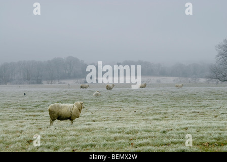 Frosty morning in Hampshire with sheep standing still in a field surrounded by mist - Stock Photo