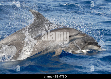 Common Bottlenose Dolphin, Tursiops truncatus. Azores, Atlantic Ocean. - Stock Photo