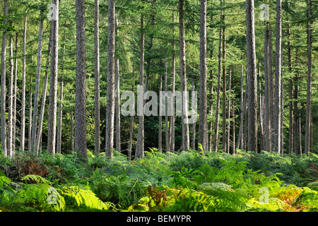 Common bracken (Pteridium aquilinum) in pine forest - Stock Photo