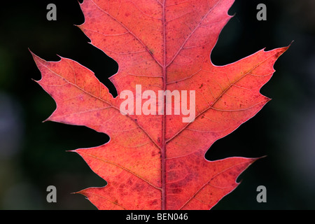 Northern red oak leaf (Quercus rubra) turning red in autumn - Stock Photo