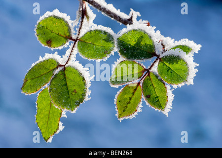 Leaves of rose bush (Rosa sp.) covered in hoarfrost in winter, Belgium - Stock Photo