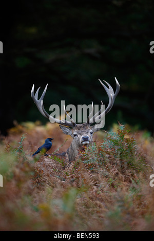 Red Deer Cervus elaphus stag in bracken jackdaw - Stock Photo