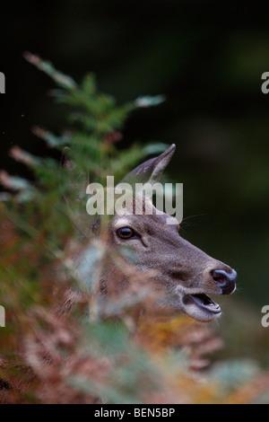 Red Deer Cervus elaphus hind in bracken