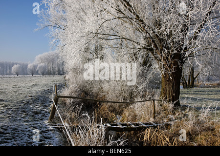 Wooden bridge over brook and pollard willows (Salix sp.) and poplars covered in hoarfrost in winter, Belgium - Stock Photo