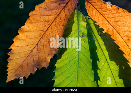 Sweet chestnut / marron tree (Castanea sativa) leaves in autumn - Stock Photo