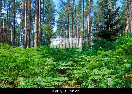 Common bracken fronds (Pteridium aquilinum) in pine forest - Stock Photo