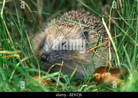 European hedgehog (Erinaceus europaeus) foraging in high grass - Stock Photo