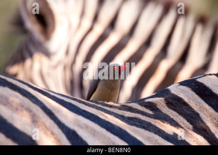 Plains Zebra (Equus Quagga) with Red-billed Oxpecker (Buphagus Erythrorhynchus). - Stock Photo
