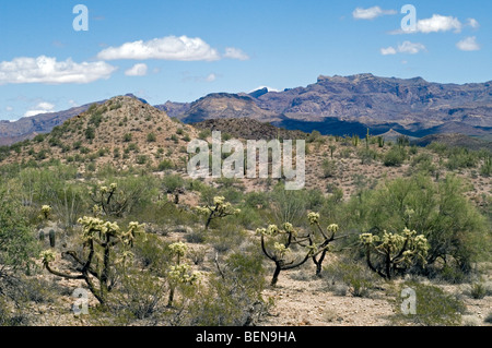 Teddybear cholla (Opuntia bigelovii / Cylindropuntia bigelovii) in the Sonoran desert, Organ Pipe National Monument, - Stock Photo