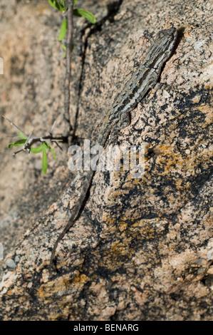 Ornate tree lizard (Urosaurus ornatus) in the Sonoran desert, Organ Pipe Cactus National Monument, Arizona, US - Stock Photo