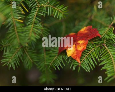 Red fallen maple leaf on Balsam fir - Stock Photo