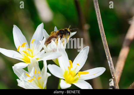Sweat bee on Crow poison flower - Stock Photo