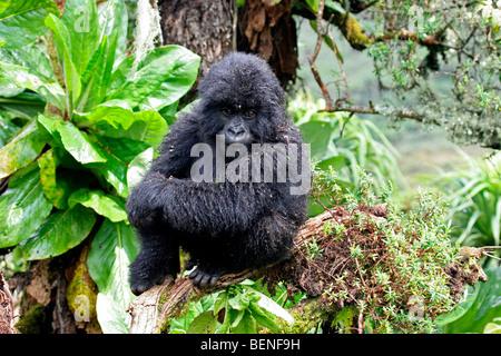 Young Mountain gorilla (Gorilla gorilla beringei), member of the Susa group, Parc National des Volcans, Rwanda, - Stock Photo
