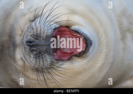 Yawning young of Grey seal (Halichoerus grypus) in sandstorm on beach, UK - Stock Photo