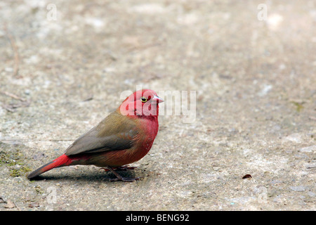Red-billed Firefinch / Senegal Firefinch (Lagonosticta senegala) foraging on the ground in Ethiopia, East Africa - Stock Photo