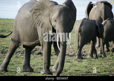 Encounter with a herd of African Elephants in the Selous Game Reserve in Tanzania - Stock Photo