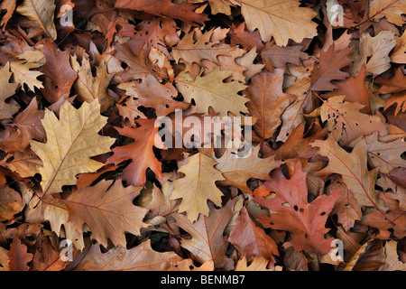 Fallen Northern red oak leaves (Quercus rubra) on forest floor in autumn - Stock Photo