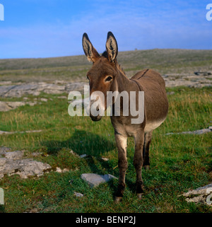 Donkey - Stock Photo