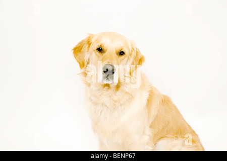 Golden Retriever looking to camera - Stock Photo