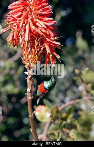 Greater double-collared sunbird male (Cinnyris afer / Nectarinia afra) feeding on red-hot poker (Kniphofia linearifolia), - Stock Photo