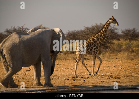 Giraffes escaping from an elephant near a waterhole in Etosha National Park, Namibia, Africa. - Stock Photo