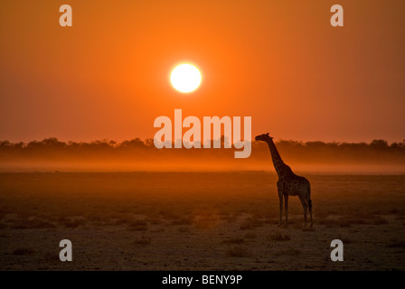 Silhouette of a giraffe at sunset in Etosha National Park, Namibia, Africa. - Stock Photo