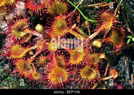 Common sundew / round-leaved sundew (Drosera rotundifolia) growing in bog