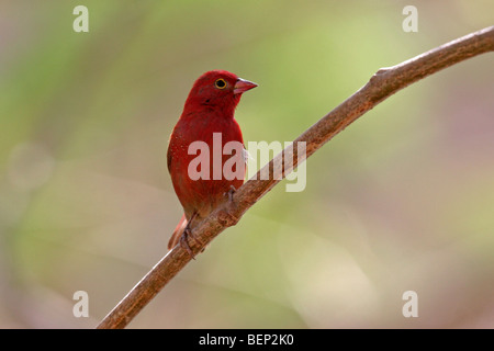 Red-billed firefinch / Senegal firefinch (Lagonosticta senegala) perched on branch in sub-Saharan Africa - Stock Photo