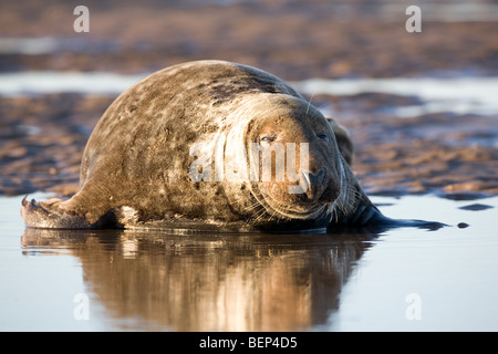 Large Bull Grey Atlantic Seal Halichoerus grypus in shallow sea pool on the East English coastline - Stock Photo