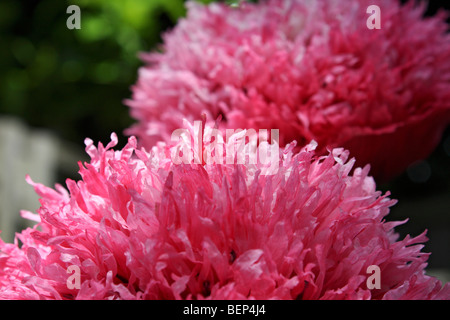 Double pink opium poppy, Papaver somniferum growing in a garden in Surrey, England, UK. - Stock Photo