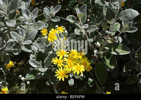 Brachyglottis greyi, also called Senecio greyi, or daisy bush, Surrey, England, UK. - Stock Photo