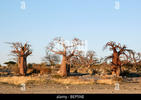 Baobab trees (Adansonia digitata) on Kubu Island in the Makgadikgadi Pan area of Botswana, Southern Africa - Stock Photo