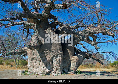 Baobab tree (Adansonia digitata) on Kubu Island in the Makgadikgadi Pan area of Botswana, Southern Africa - Stock Photo