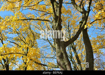 Norway maple tree (Acer platanoides) in autumn colours - Stock Photo