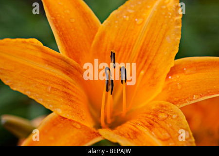Orange tiger lily - Stock Photo