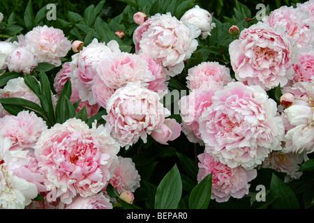 Chinese Peony, Common or Garden Peony, Herbaceous or White Peony, Paeonia lactiflora 'Sarah Bernhardt', Paeoniaceae